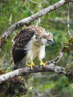 Pithecophaga jefferyi - małpożer - Philippine Eagle CR