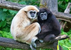 Genetic sequencing of gibbons was completed for the first time, potentially leading to advances in cancer research.