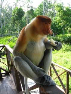 Proboscis monkey can be seen here.