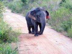 Découverte d'un éléphant nain au Sri Lanka [video] - 2Tout2Rien