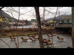 Elk in the Oconaluftee River located on the Cherokee Indian Reservation. Cherokee, NC ..... love it!