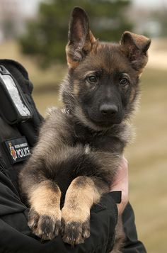 Puppy Mo on his first day with GMP. He has just begun the training that will hopefully make him one of our front-line crimefighters.    Each of our police dogs is assigned its own handler who will accompany them throughout their service. They are involved in important operational duties such as tracking, building searches and other criminal work across Greater Manchester. - www.policemag.com