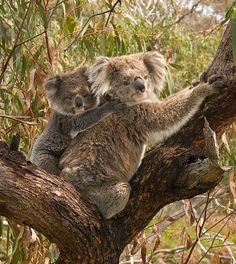 Slowest Animals In The World: Koala bear