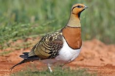 Pin-tailed Sandgrouse-found in northwest Africa, and from southeast Turkey east to Kazakhstan. It is a partial migrant, with some Asian birds moving to the Middle East and northern Pakistan in winter.