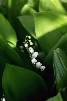 Are you interested in growing a plant with not just beautiful flowers, but a spectacular scent too? Check out Gardener's Path as we describe why and how you should make lily of the valley the next addition to your garden.