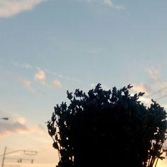 Lavender under the sunset
