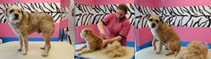 Border Terrier Getting Hand Stripped-Misty Gieczys