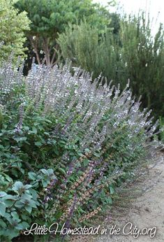 African Blue Basil - one of the herbs that replaced the grass in the front yard | Little Homestead in the City - the Urban Homestead Journal
