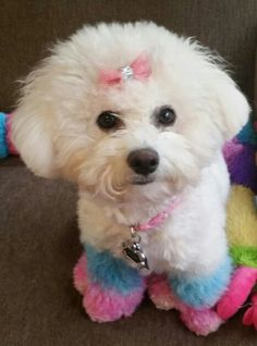 My Bichon Suzie all chalked up with OPAWS pet-safe hair chalk.