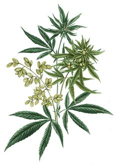 Balance formula includes only our proprietary organic hemp, grown and processed at our regenerative farm. It's our most simplistic formula, for experiencing the benefits of broad spectrum hemp extract in isolation. of hemp extract (CBD) Marijuana Leaves, Marijuana Plants, Cannabis Plant, Weed Plants, Medicinal Plants, Plant Illustration, Botanical Illustration, Herbs, Craft Ideas