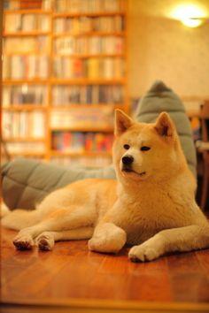 秋田犬メアリーちゃん Canon 5D 50mmf1.2