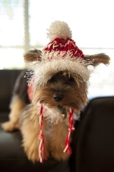 Christmas Yorkie I want this dog!!!
