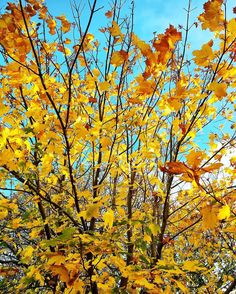 #yellow #changingcolour #tree  #feelslikewinter2016 Photos from my travels