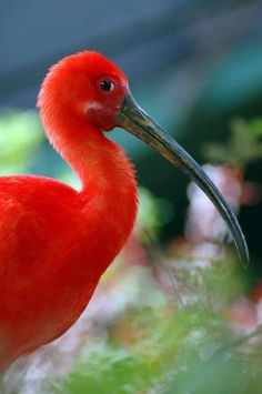 The Scarlet Ibis (Eudocimus Ruber) is a South American wading bird that belongs to the same order as herons, spoonbills, and storks. The scarlet ibis is most noted for its vibrant scarlet coloration, which it derives from its diet of shrimp and other crustaceans.