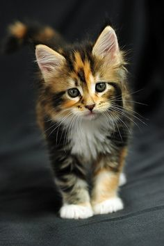 Despite their reputation for being independent animals, cats can actually be very reliant on their humans. For this reason, you'll be glad you knew these 5 surprising cat-care tips to ensure you've got a happy, healthy feline living in your home: Kittens And Puppies, Cute Cats And Kittens, Baby Cats, Kittens Cutest, Ragdoll Kittens, Funny Kittens, Bengal Cats, White Kittens, Maine Coon