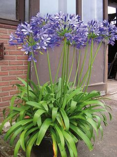 agapanthe blue giant Plus Back Gardens, Outdoor Gardens, Pot Jardin, Plantation, Permaculture, Horticulture, Garden Pots, Container Gardening, Shrubs