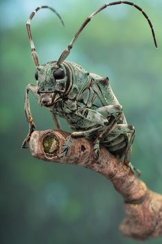 Animais selvagens #animals #cerambycid beetle