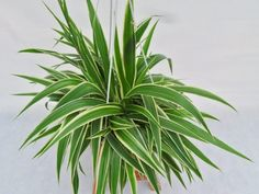 ✅ Guide to Grow Spider Plants ✅ spider plants cats hallucinate? ✅ re spider plants poisonous to humans or pets? ✅ are spider plants poisonous to cats? Sun Plants, Cool Plants, Garden Plants, Foliage Plants, Indoor Plants Low Light, Best Indoor Plants, House Plants Decor, Plant Decor, Household Plants