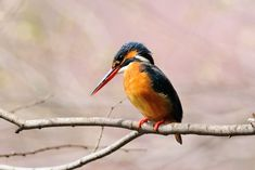 In Pink ! , Kingfisher by Mubi.A