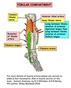 Instant Anatomy - Leg - Muscles - Tibia