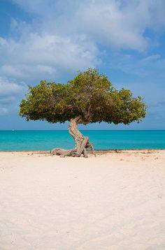 Divi Divi Tree, Eagle Beach Aruba Will be seeing this again in less than 5 months!