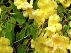 Yellow Trumpet Vine – Flava Creeper – Plant – Established Roots – Potted – 3 Plants by Growers Solution Cat's Claw Plant, Creepers Plants, Front Yard Plants, Benefits Of Organic Food, Cat Plants, Plant Catalogs, Climbing Vines, Natural Medicine, Herbal Remedies