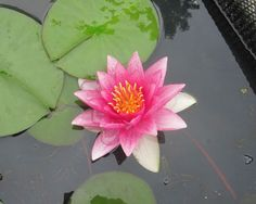 James Brydon Water Lily