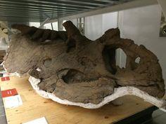 Crâne de Kosmoceratops