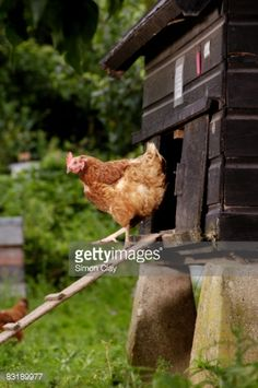 Photo : Chicken exiting hen house