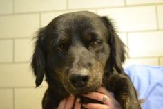 Mumford is an adoptable Dachshund Dog in Dewitt, NY. Mumford is a 2-4 year old neutered male Dachshund mix. He arrived on March 20th. Mumford weighs about 30 lbs and is full grown. He is very sweet an...