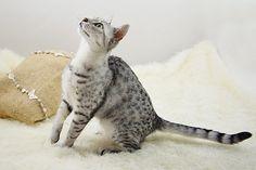 Kot egipski mau #cat #egyptian mau