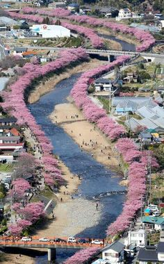 河津桜 (kawazu-zakura) is a kind of cherry blossom famous for its early blooming. 800 cherry-tree-lined-path along the river in Kawazu-cho, Shizuoka Pref. Japan. 早咲きで有名な河津桜の発祥地、静岡県河津町の800本のさくら並木。2015.2.28 撮影 (photo taken)