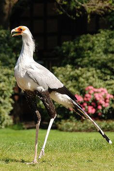 Secretary Bird Sagittarius Serpentarius The Elegant