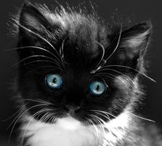 Blue eye'd kitten