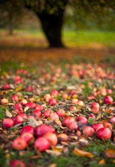 Fallen apples on the grass = Nature's Deer Chow.