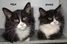 BOTH ADOPTED! AVAILABLE NOW! STRAY Tag# 5060 Milk Tag# 5061 Shake  Black/White  Shake is male & Milk is female  Sweet, playful kittens!  Located at 2396 W Genesee Street, Lapeer, Mi.  For more information, please call 810-667-0236    https://www.facebook.com/267166810020812/photos/a.740693772668111.1073742089.267166810020812/741264859277669/?type=3&theater