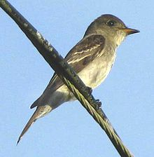 Eastern Wood-Pewee are grey-olive on the upperparts with light underparts, washed with olive on the breast. They have two wing bars, and the primary remiges are long, giving the wingtip a slim and very pointed appearance. The upper part of the bill is dark, the lower part is yellowish.