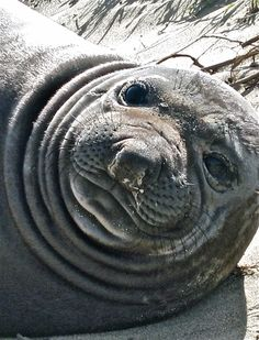 elephant seal pup,  a very big one