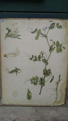 Botanische Schoolplaat Peultjes - Pisum sativum