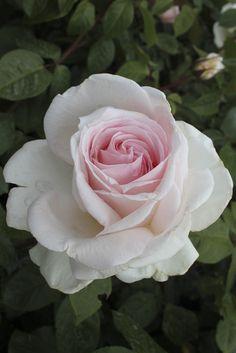 'Father of Peace' Hybrid Tea Rose