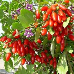 30+ Goji Berry Bush Seeds ,Under The Sun Seeds