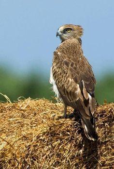 La culebrera europea o águila culebrera (Circaetus gallicus) El macho puede llevar hasta el nido grandes serpientes metidas en el buche, y el polluelo las saca como si tirara de una cuerda.