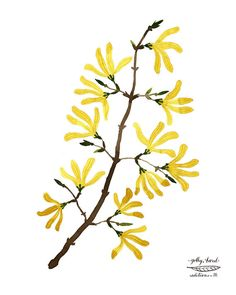 Forsythia Branch Print, botanical prints, botanicals, flower specimen, giclee…