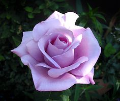 """""""Blue Moon"""" Nonno's favourite rose as it shares the name of his favourite song. Orchid Seeds, Flower Seeds, Lavender Roses, Purple Roses, Blue Moon Rose, White Rose Flower, Heirloom Roses, Purple Garden, Hybrid Tea Roses"""