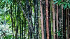Como plantar bambu - Cuidados, plantación y requisitos