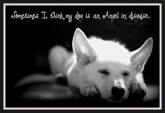 I know my dog is an angel and she looked just like this. You are so missed Ziggy Marley German Shepherd Dogs, German Shepherds, Shepherd Puppies, Cute Dog Quotes, White Swiss Shepherd, Loyal Dogs, Schaefer, Dog Rules, White Dogs