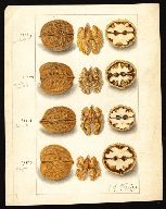 Walnut-  USDA Pomological Watercolor Collection