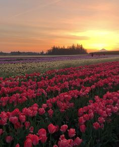 Beautiful sunrise at Wooden Shoe Tulip Festival ✨🌷🌷🌷✨ Landscape Photography, Nature Photography, Photography Tips, Nature Gif, Nature Videos, Nature Aesthetic, Beautiful Sunrise, Beautiful Places To Travel, Travel Abroad