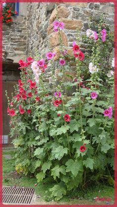 Les roses trémières qui aiment la chaleur des murs. Ici, à Paimpol