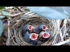 Letter E // Egg unit // 9 Days In the Nest - Baby Birds fom Egg to Fledgling a Compilation First Grade Science, Kindergarten Science, Elementary Science, Spring School, Science Videos, Bird Theme, Spring Theme, Spring Activities, School Themes